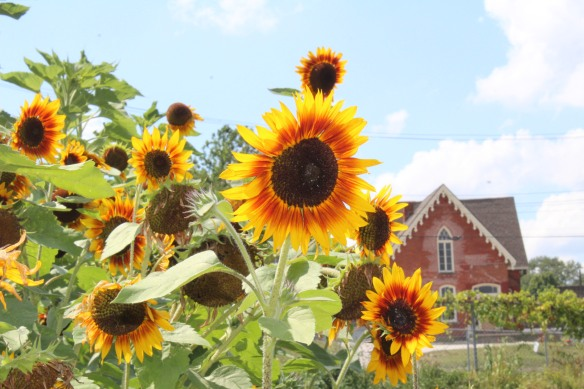 downtown mansfield sunflowers