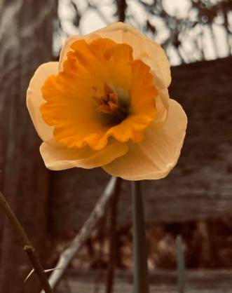 Daffodil 2020